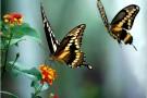Como uma lagarta se transforma em borboleta? Quanto tempo leva esse processo?
