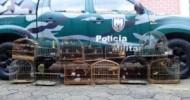 Polícia Ambiental apreende 32 pássaros silvestres em Barra de São Francisco