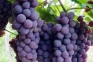 Bandes lança Programa de fomento à produção regional de uva e derivados em Barra de São Francisco e Mantenópolis