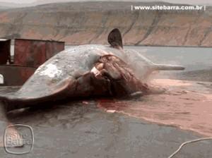 SiteBarra+Barra+de+Sao+Francisco+baleia explode0